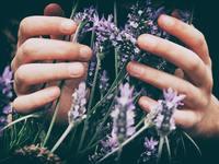 Image of hands holding lavender